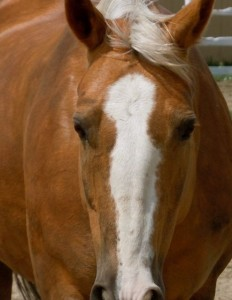 Diva, Palomino mare, Coaching with Horses